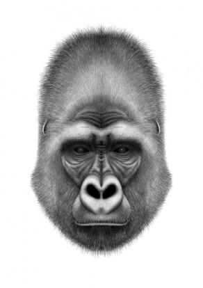 gorilla-charlotte-quillet